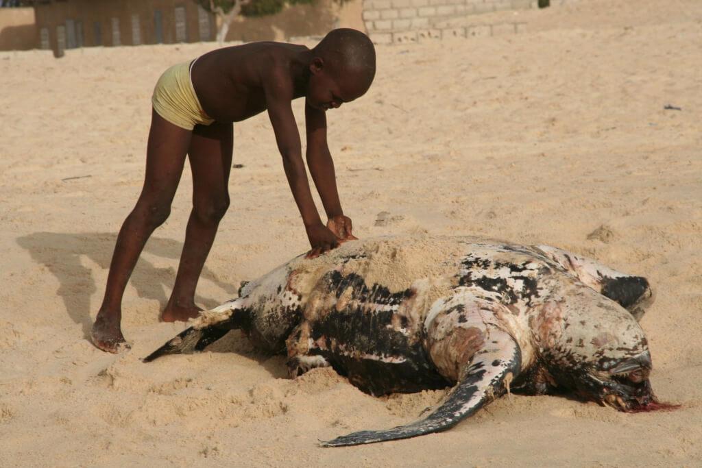 Dead Dermochelys coriacea (Leatherback Sea Turtle) near Lompoul