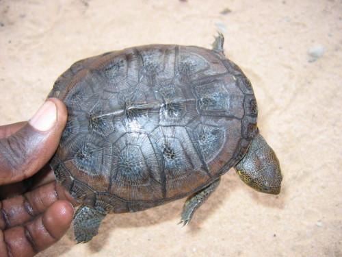 Dorsal view of a juvenile Pelusios adansonii