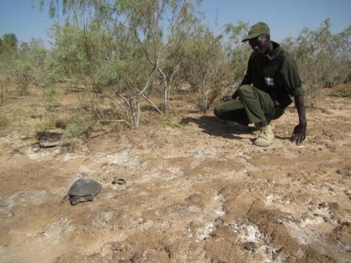 Eco-Guard Modou Diop watching a female Adanson's Terrapin at nesting habitat in Tocc-Tocc Reserve