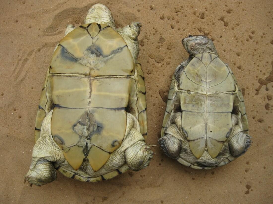 Adult Female (left) and Male (right) Pelusios adansonii - Female is always bigger
