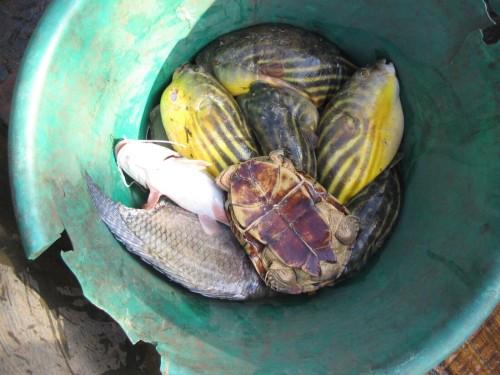 Fisherman's catch with a live male Pelusios adansonii near Tocc-Tocc