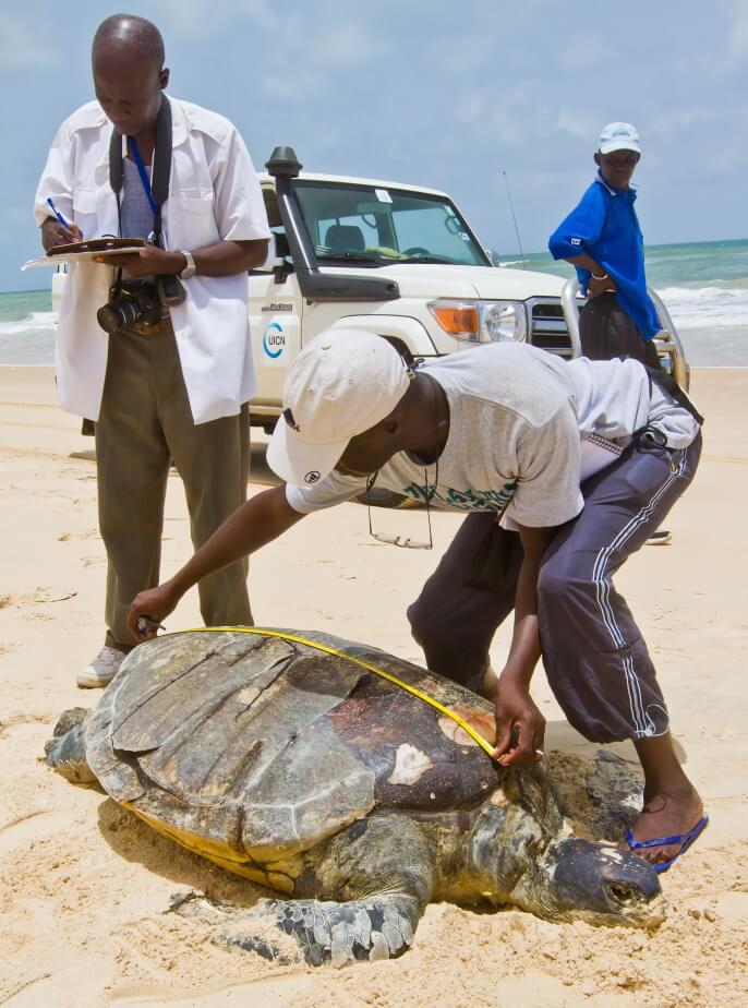 Kader taking morphometrics of a Chelonia mydas (Green Sea Turtle)