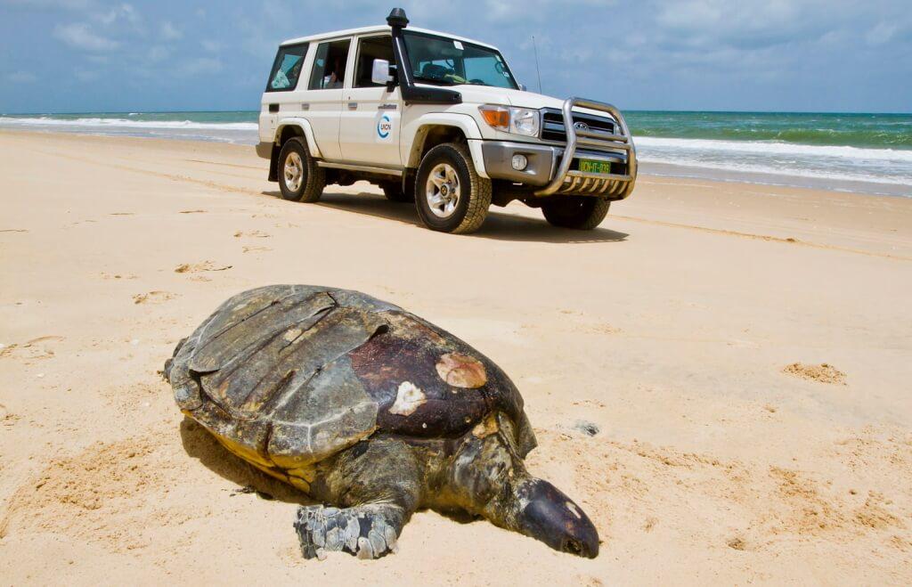 Large dead female Chelonia mydas (Green Sea Turtle)