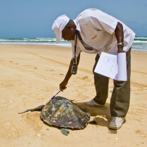 Dijba with a dead Lepidochelys olivacea (Olive Ridley Sea Turtle)