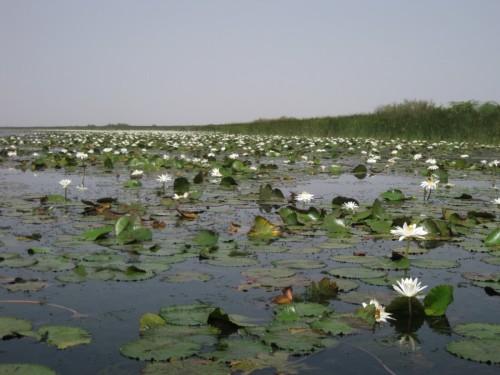 Foraging habitat of Pelusios adansoniii